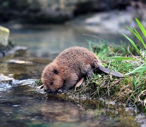 Angelcraft Crown World Heritage and Conservation - meet Kiwis - a little orphaned beaver preparing himself to build a dam by hydrating his body