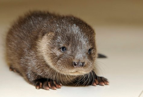 "ST BOSWELLS, UNITED KINGDOM - JAN 27 RESCUED OTTER ""orla"" a six week old female otter cub that was found 2 days ago at the north side of Stow on the A7 in the Scottish Borders. FULL INFO Shona 07757 21 77 59 (Photo: Rob Gray)"