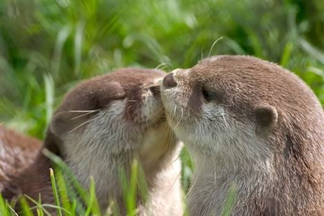 Crown World Heritage and Conservation - two River Otters in the Wild