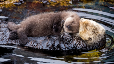 A Southern Sea Otter gives birth to a newborn pup in the Monterey Bay Aquarium's Great Tide Pool