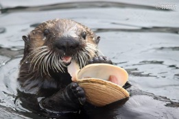 Sea otter pup Oswald munches on a butter clam during a training session.