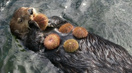 sea-otter-with-urchins