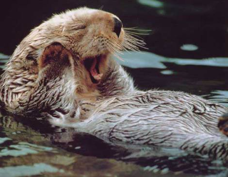 Sea otters yawn too