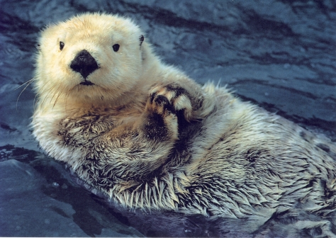 This ones called the Praying Sea Otter