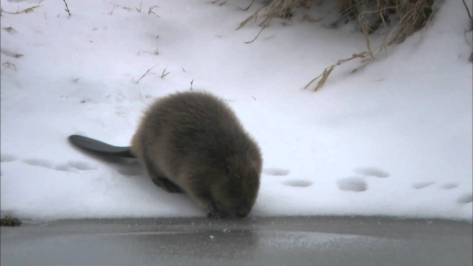 A little Beaver Hydrates his or her body to keep their warm protective fur coat fluffy for the winters chores