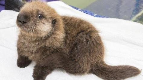 Angelcraft Crown Conservation – Meet Luna the Shedd Aquarium's newest little baby sea otter