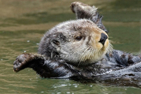 Sea Otter (Enhydra lutris) stretching after short nap.